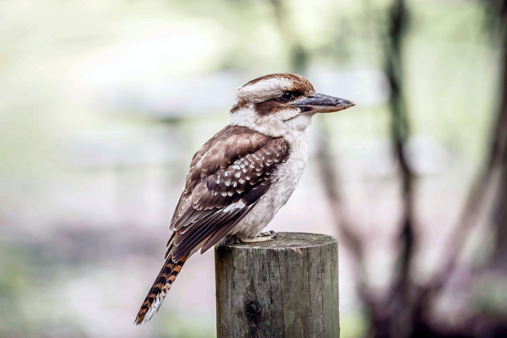 Kookaburra on fence post
